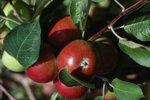 مدیریت تغذیه و کوددهی درختان سیب